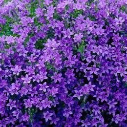 Campanula Ambella Intense Purple