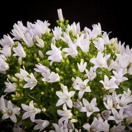 Campanula Ambella White P12