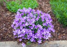 Campanula ambella 'Lavender' 12cm Pot