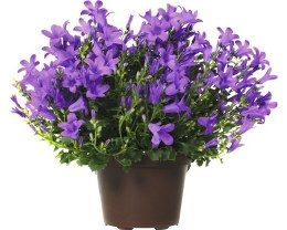 Campanula port. 'Dark Take Me'