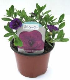 Calibrachoa Can Can Rosies Blue 10cm