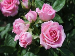 Carefree Days Patio Rose 3.5 Litre