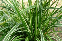 Carex morrowii Ice Dance 2 Litre