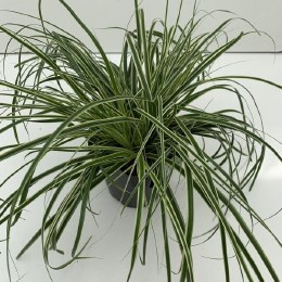 Carex oshimensis 'Evercream' (Japanese Sedge)