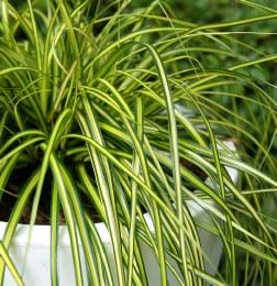 Carex oshimensis 'Eversheen' (Japanese Sedge)