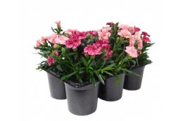 Carnations Mix in 6 Pack Carry Pack