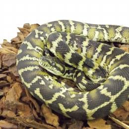 Python Carpet