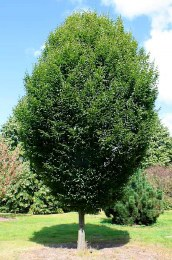 Carpinus Betulus - Common Hornbeam