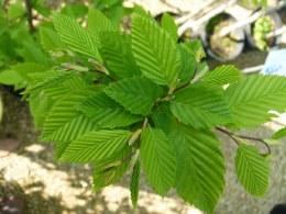 Carpinus Betulus 'Fastigiata' - Hornbeam