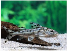 Catfish Pictus