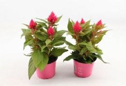 Celosia 'Kelos Fire' pink