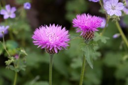 Centaurea 'John Coutts' | knapweed 'John Coutts'