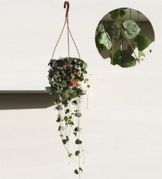 Ceropegia woodii | Chain of hearts plant