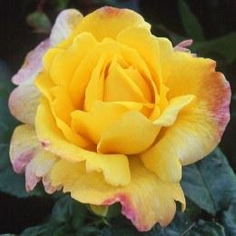 Chinatown Floribunda Rose 3.5 Litre