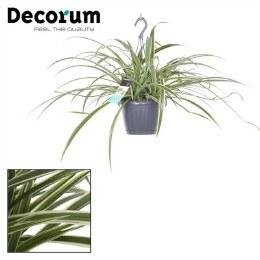 Chlorophytum Laxum P18cm