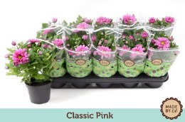 Chrysanthemum Classic Pink P12