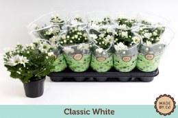 Chrysanthemum Classic White P12