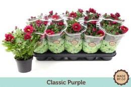 Chrysanthemum Classic Purple P12