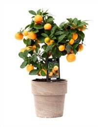 Citrofortunella Calamondin with fruits in ceramic pot