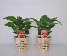Coffe Arabica P13 in Wooden Pot