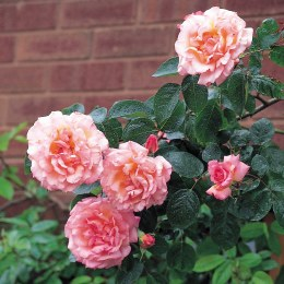 Compassion Climbing Rose - 5 Litre on Trellis