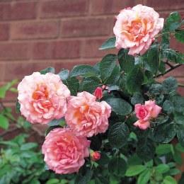 Compassion Climbing Rose - 5 Litre