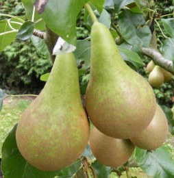 Pear 'Conference' 2 Year Bush