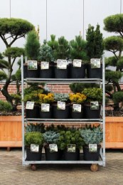 Conifers 'Kings Garden Collection'