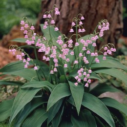 Lily Of The Valley Rosy - Convallaria majalis Rosea
