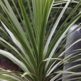 Cordyline Australis 80-100cm
