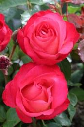 Corfu Hybrid Tea Rose - 3.5 Litre