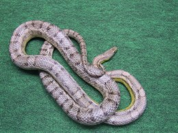 Corn Snake Rat Snake cross