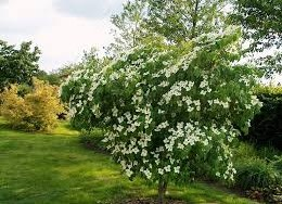Cornus Kousa China Girl 15 Litre