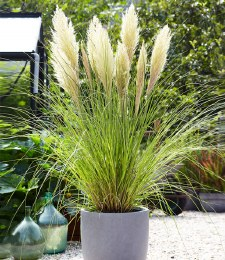 Cortaderia Gold -  Mini Pampas Grass