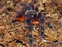 Tarantula Costa Rican Orange Mouth