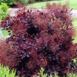 Cotinus cog. 'Royal Purple' | Purple Smokebush