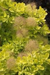 Cotinus coggygria Golden Lady 2L