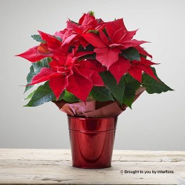 Crimson Poinsettia Stars