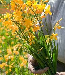 Crocosmia Buttercup