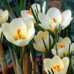 Crocus chrysanthus 'Cream Beauty' 20 Pack