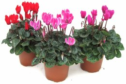 Cyclamen Mini in 10.5cm Pot
