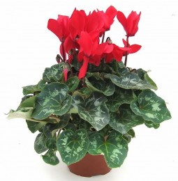 Cyclamen extra large in 13cm pot