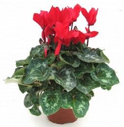 Cyclamen Large in 13cm pot