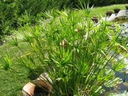 Cyperus Alternifolius P9