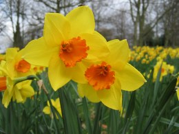 Daffodil - Narcissus 'Fortune' 8kg
