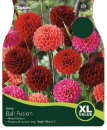 Dahlia Ball Fusion