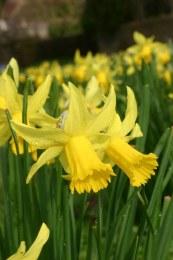 Daffodil - Narcissus 'February Gold' 5 Pack