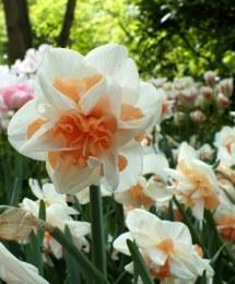 Daffodil - Narcissus Delnashaugh