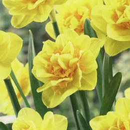 Daffodil - Narcissus 'Jack The Lad' 15 Per Pack