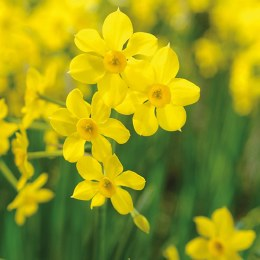 Daffodil - Narcissus 'Baby Moon' 8 Pack